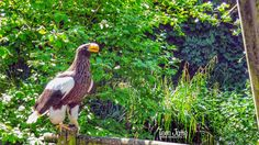 HereIsTom posted a photo:  A Steller Sea Eagle poses in the Blijdorp Zoo.  Steller's sea eagle (Haliaeetus pelagicus) is a large bird of prey in the family Accipitridae that lives in coastal northeastern Asia and mainly preys on fish and water birds. On average, it is the heaviest eagle in the world, at about 5 to 9 kg (11 to 20 lb).  Diergaarde Blijdorp (Official Dutch name: Stichting Koninklijke Rotterdamse Diergaarde, Foundation Royal Zoo of Rotterdam) is a zoo in the northwestern part of…
