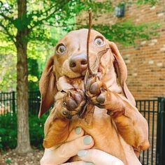 - Mood when mom lets me eat leaves. - Mood when mom lets me eat leaves Dachshund Gifts, Mini Dachshund, Daschund, Cute Funny Dogs, Cute Funny Animals, Dogs Eating Grass, Thai Chi, Black Lab Puppies, Corgi Puppies