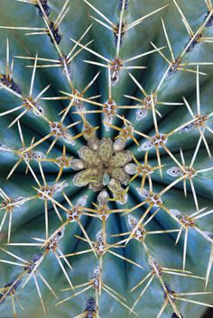 Symmetrical Cacti - Desert Botanical Gardens, Phoenix, Arizona
