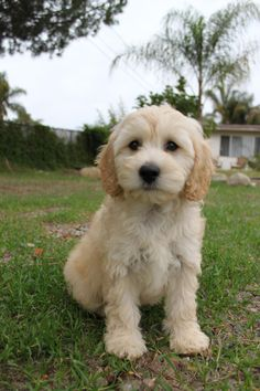 Cavapoo. Looks just like puppy!