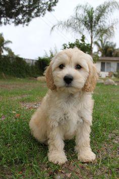 Cavapoo. Looks just like puppy!