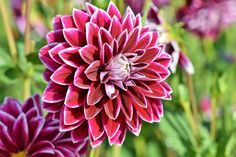 Learn how to plant, grow, and care for dahlia flowers with this garden guide from The Old Farmer's Almanac.Learn how to plant, grow, and care for dahlia flowers with this garden guide from The Old Farmer's Almanac. Dahlia Flower Pictures, Pink Flower Names, Flower Images Hd, Pink Flowers, Cut Flowers, Rose Images, Winter Flowers, Summer Flowers, Growing Dahlias
