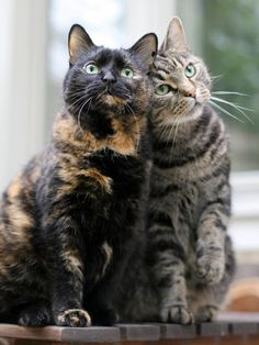 cat buddies: tortoiseshell and silver tabby