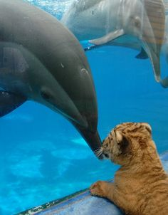 The curious liger cub who struck up an unlikely friendship with dolphins http://www.dailymail.co.uk/news/article-1202699/Beast-friends-The-dolphins-mates-liger-cub-thats-cross-lion-tiger.html