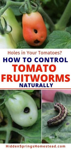 Herbs Indoors, Garden Pests, Gardening For Beginners, Tomato Fruitworm, Tomato Worms, Planting Herbs, Container Gardening, Tomato, Gardening Tips