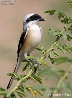 Bay-backed Shrike - Lanius vittatus, is a member of the shrike family Laniidae. This species is a resident in South Asia.