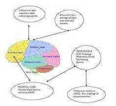 Brain Adhd Symptoms, Signs And Symptoms, Brain Models, Occipital Lobe, Frontal Lobe, Brain Stem, Social Work, Picture Quotes, No Response