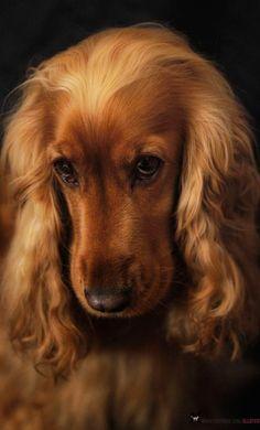 Cocker Spaniel. toch wel de mooiste honden die er zijn.