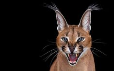 The Caracal. A talented portrait photographer has moved on from capturing traditional human subjects - instead photographing a stunning variety of wild animals. Brad Wilson, 51, stands just feet away from the likes of tigers, rhinos, elephants and primates. Each animal is given the same respect and dignity as any human subject, with Brad setting up a full photographic studio, either at or near sanctuaries and zoos across the U.S. The works are the second part of Brads Affinity series.