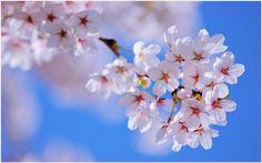 Cherry Flowers HD Wallpaper | cherry blossom lake hd wallpaper, cherry blossoms hd wallpaper