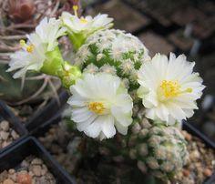 Mammillaria theresae albiflora
