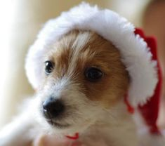 Merry Christmas! Boden. He is a rescue dog from the RSPCA, he was found at three weeks old wandering around eating tin foil