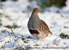 Learn more about the Grey partridge - with amazing Grey partridge videos, photos and facts on Arkive Grey Partridge, Draw On Photos, Life List, Woodcarving, Taxidermy, Bird Feathers, Devon, Moscow, Sketching