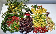 Fantastic Final Chilli Harvest! Huge thanks to Anja Egeriis for all her outstanding chilli photos this season! Are you ready to be a chilli champion like Anja? Read our chilli guides! http://www.greenhousesensation.co.uk/…/how-to-grow-chillies/