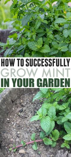 How to Grow Mint Successfully | The Creek Line House Growing Mint, Growing Herbs, Garden Soil, Lawn And Garden, Gardening For Beginners, Gardening Tips, Container Gardening, Mint Plants, Easy Plants To Grow