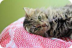 New York, NY - Domestic Longhair. Meet Xena, a cat for adoption. http://www.adoptapet.com/pet/15559396-new-york-new-york-cat