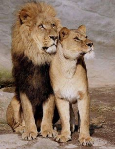 60 super Ideas for tattoo cat couple lion and lioness Beautiful Lion, Animals Beautiful, Cute Animals, Beautiful Couple, Lion Pictures, Animal Pictures, Lion Images, Big Cats, Cats And Kittens