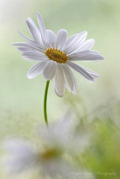 My Mother loved daisies and everytime I see one I think of her.