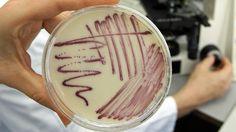 Eine Petrischale mit MRSA-Keimen (Methicillin-resistenten Staphylococcus aureus), gegen die das neue Antibiotikum sehr gut wirkt. (Quelle: dpa)