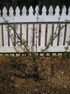 Elderberry Bush propagating