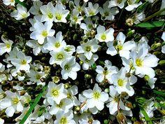 javiosses: Google+ Pequeñas florecillas blancas del bosque...