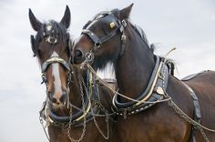 """valscrapbook: """" Shire Horses at the Great Dorset Steam Fair by Steve Greaves on Flickr. """""""