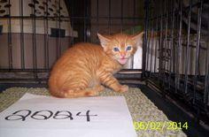 2224 Tabby - Orange Mix • Baby • Female • Medium Brazoria County Sheriffs Office Livestock /Animal Control Angleton, TX