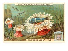 Aquatic Prints   Aquatic Fauna, Sea Anemones Premium Poster at Art.com