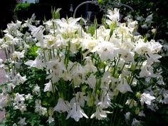 The white Columbine is amazing this year in the front garden!