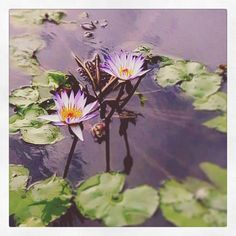"""💕 it's hard ones """" & fakeiam_1 ~ 🎲Water Lilies💮"""