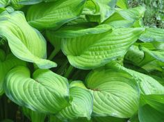 """Hosta """"Stained Glass""""  https://www.etsy.com/listing/398428627/summer-sale-only-695-hosta-hosta-stained?ref=shop_home_active_8"""