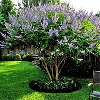 Chaste Tree Online At Nature Hills Nursery Fast Growing Trees Texas