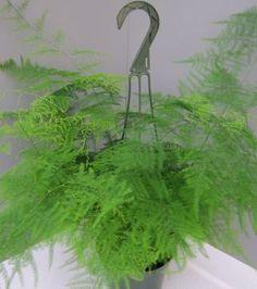 Asparagus setaceus 'Asparagus Plumosa Fern'