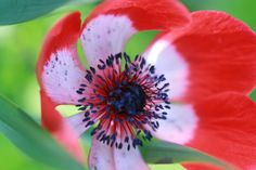 Anemone(アネモネ)2  花言葉 はかない恋 恋の苦しみ 薄れゆく希望 清純無垢 無邪気 辛抱 待望 期待 可能性  (赤)「君を愛す」  (白)「真実」「真心」  (紫)「あなたを信じて待つ」