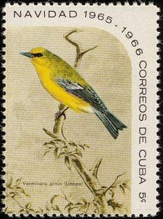 Avispa de alas azules Vermivora pinus - Cuba