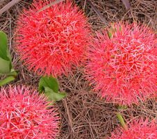 113 best purple yellow white and orange shade plant ideas images the giant globe like blooms of scadoxus make you stop in your tracks each flower is a red spectacle of fireworks attached to a stem mightylinksfo