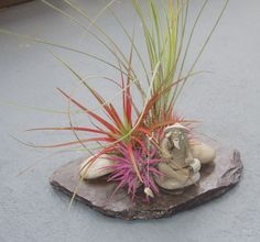 Live ball moss air plants tillandsia recurvata for Air plant art