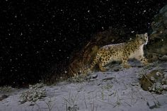 A remote camera captures a snow leopard in the falling snow at Hemis National Park in Ladakh, Jammu and Kashmir, India.