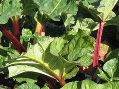 recepty z rebarbory Plant Leaves, Plants, Plant, Planets