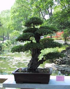 A Pengjin (Bonsai) Exhibit. (Just one of more than 700 in the garden.) In the Humble Administrator's Garden ~ China
