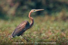 Garça-vermelha (Lat.: Ardea purpurea) a caçar nas margens alagadas do rio Cubango, província do Cuando-Cubango, Angola   via www.angolaimagebank.com com Okavango Wilderness Project para NatGeo #Cubango2017 #intotheokavango