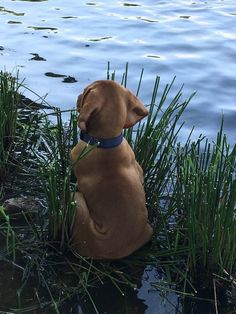 Hungarian Vizsla puppy ❤️🐾 | Photo: Amy Christy on Pinterest.com