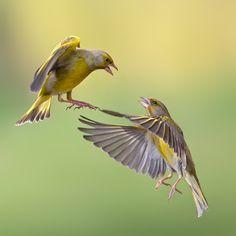 Vogel foto: Chloris chloris / Groenling / European Greenfinch