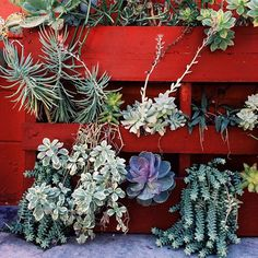 Use an old pallet to create a  succulent pallet garden!