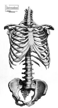 Renders squelette tronc humain gravure anatomie