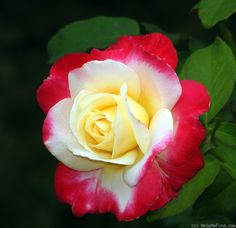 'Double Delight ' Rose Photo