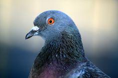 Peut-on apprendre l'orthographe à des pigeons ?