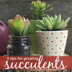 Tips for care and maintence of succulents for the beginner succulent gardener.