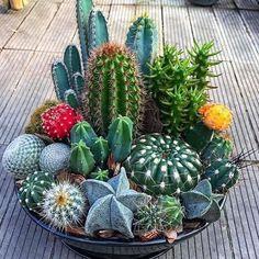 Mini Cactus Garden, Succulent Gardening, Cacti And Succulents, Planting Succulents, Vegetable Gardening, Indoor Gardening, Succulent Garden Ideas, Succulent Bonsai, Bonsai Plants