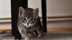 Wallpaper kitten, look, surprise, striped